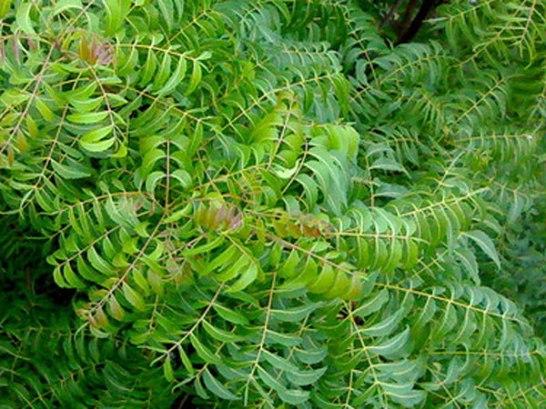 10-neem-leaves-600