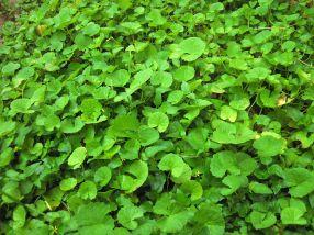1200px-Asiatic_Pennywort